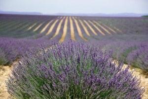 Lavender Oil Field 300px