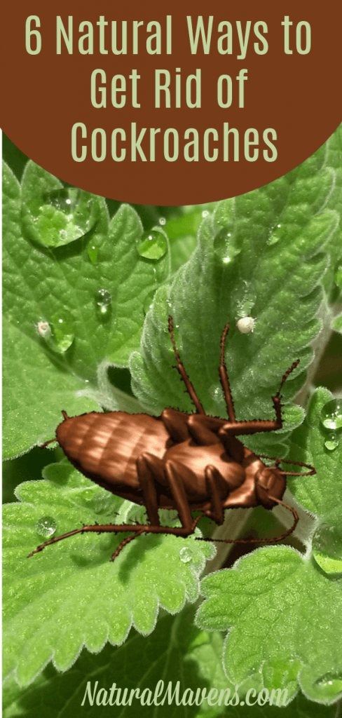 6 Natural Ways to Get Rid of Cockroaches