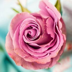 Rose for essential oil